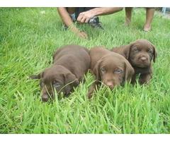 Labrador Chocolate Lindos