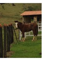 Cavalo manga larga com dois anos de idade