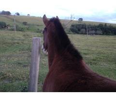 Cavalo potro mangalarga com dois anos de idade