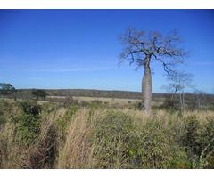 Excelente Fazenda MG 1570 hectares terra boa Pecuária