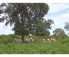 Excelente Fazenda MG 2400 hectares Pecuária